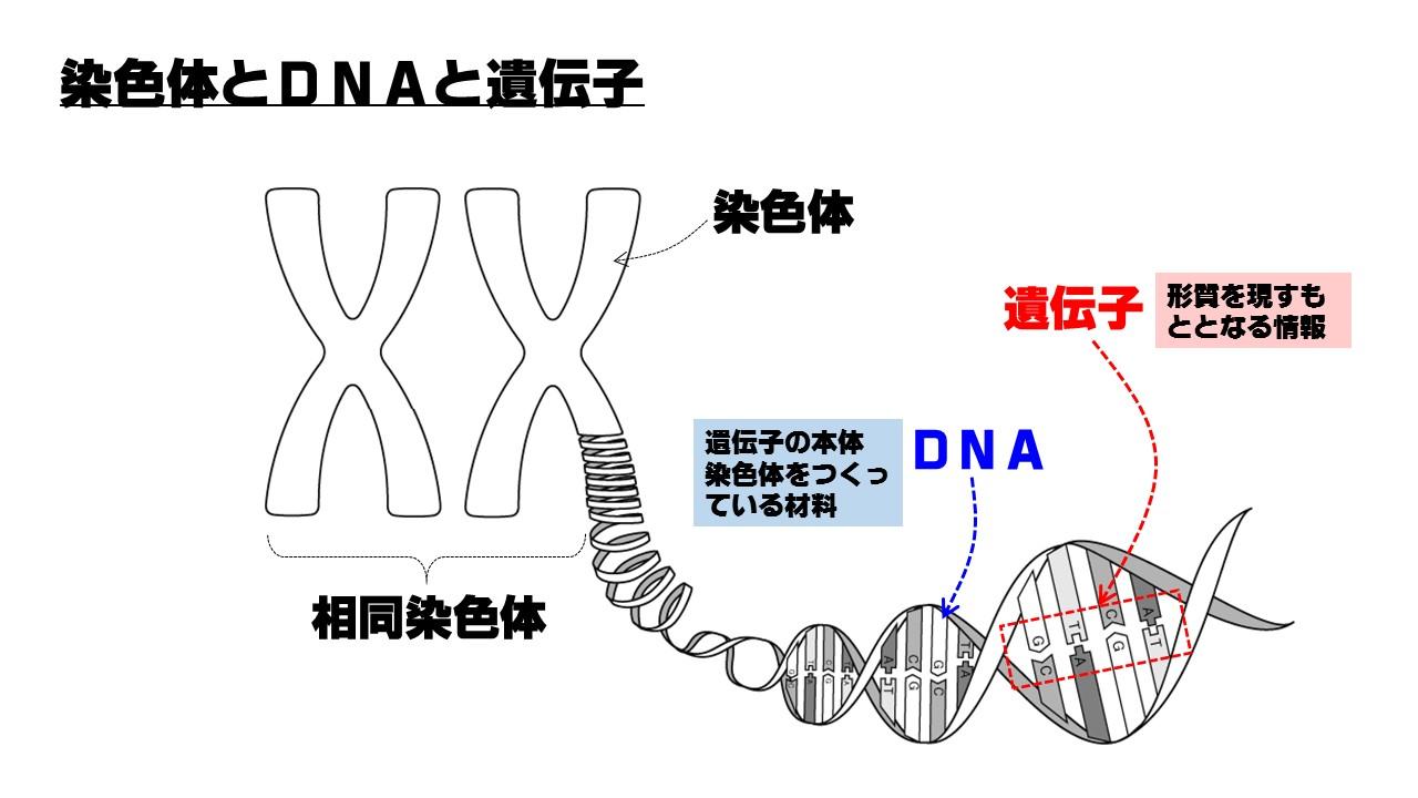 中3理科「染色体とDNA」遺伝子と...