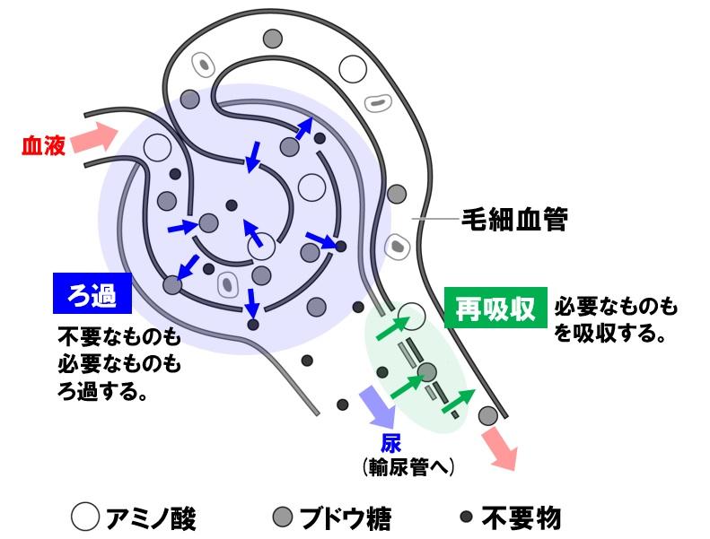 腎臓 ろ過と再吸収