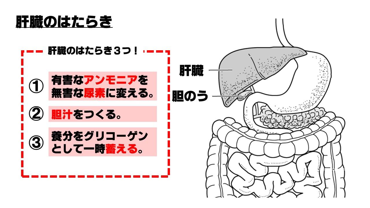 肝臓のはたらき