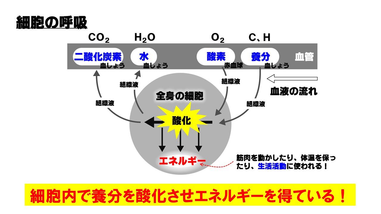 細胞の呼吸