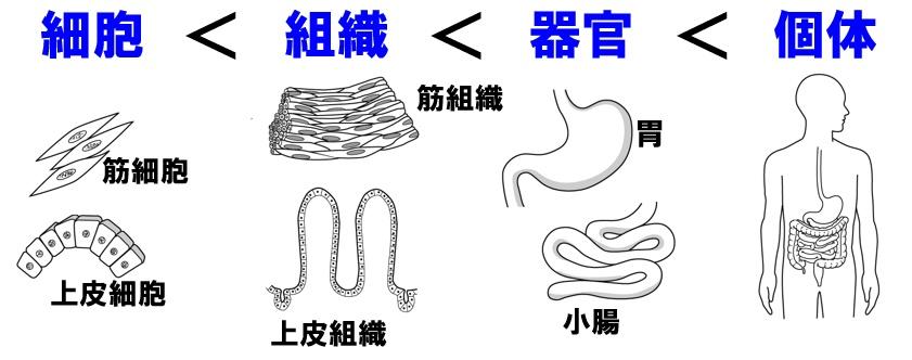 組織と器官