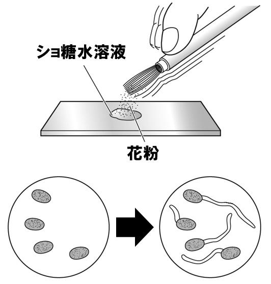 花粉管の実験