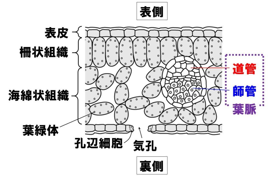 葉の断面図