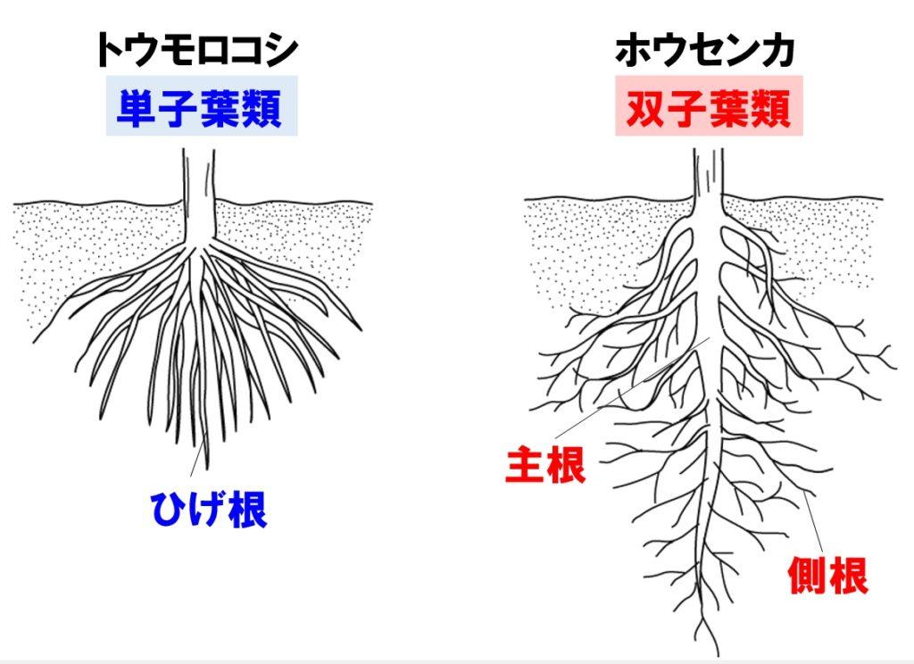 根のつくり