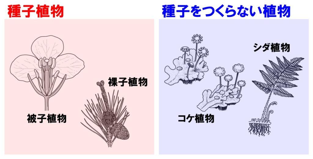 植物の分類 種子植物と裸子植物