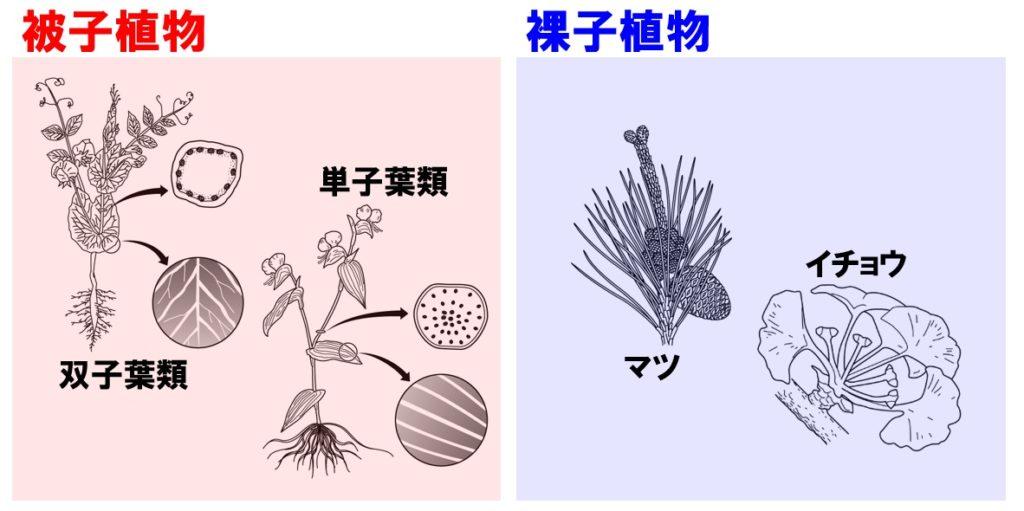 植物の分類 被子植物と裸子植物