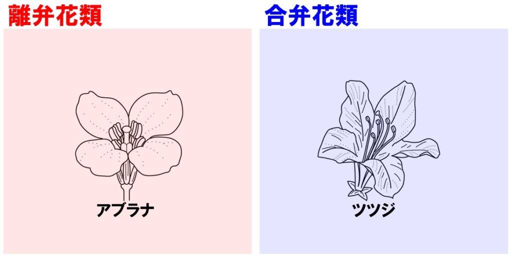 植物の分類 離弁花と合弁花