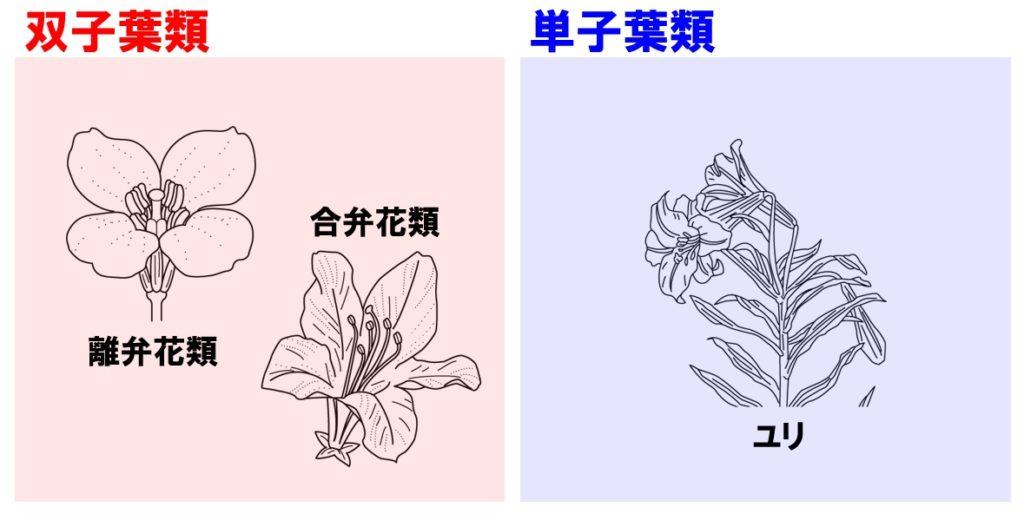 植物の分類 双子葉類と単子葉類