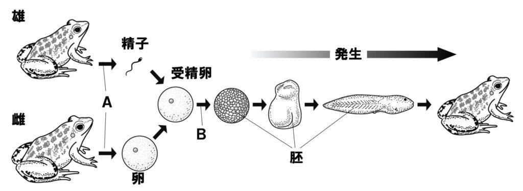 体細胞分裂と減数分裂