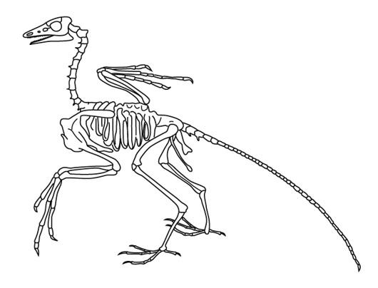始祖鳥の骨格