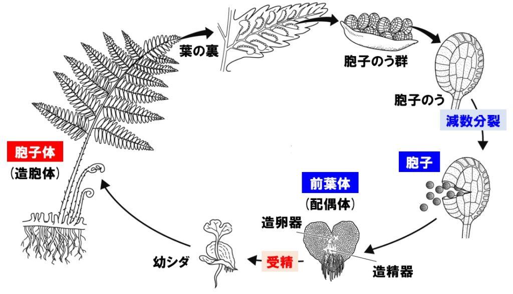 シダ植物の生活環