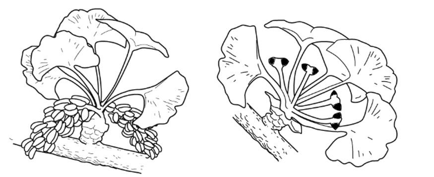 イチョウの胚珠