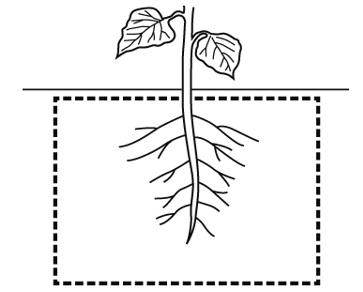 主根と側根