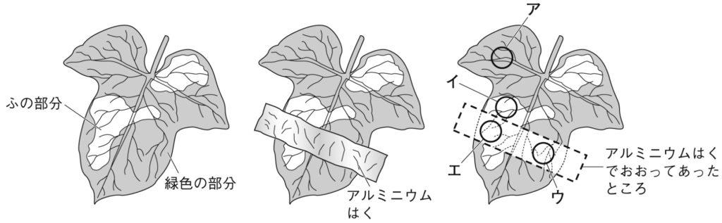 ふ入りのアサガオの葉